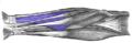 Flexor-digitorum-superficialis-horizontal.png