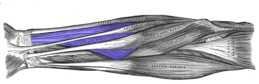 Flexor-digitorum-superficialis-horizontal.png
