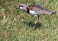 Flickr - Dario Sanches - QUERO-QUERO (Vanellus chilensis) (5).jpg