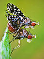 Flickr - Lukjonis - Trypetoptera punctulata.jpg