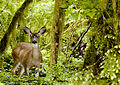 Flickr - Oregon Department of Fish & Wildlife - 5415 blacktail deer swart odfw.jpg