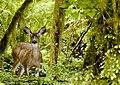 Flickr - Oregon Department of Fish & Wildlife - 5415 blacktail deer swart odfw.jpg