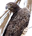 Flickr - don macauley - Martial Eagle.jpg
