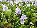 Floating Plant in Terai Ponds.jpg