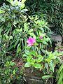 Flor de galipan.JPG