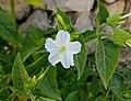 Flor de nit pel Pla, Senija.jpg
