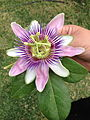 Flor pasionaria.jpg