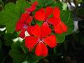 Flowers of Iran گلهای ایران 22.jpg