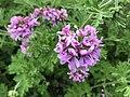 Flowers of Pelargonium graveolens 20190502.jpg