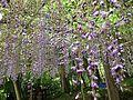 Flowers of wisteria in Kawachi Wisteria Garden 20150509-2.JPG