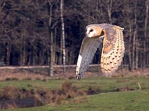 Aduilt of T. a. guttata in flight -- Sandesneb...