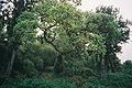 Forêt équatoriale au Mont Kenya.jpg