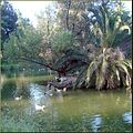 Ford Park, Island Ducks, Redlands, CA 8-182a (7832740984).jpg