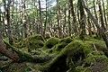 Forest in Yatsugatake 50.jpg