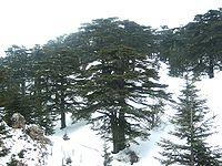 أشجار الأرز اللبناني أثناء الشتاء، في غابة أرز الرب