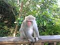 Formosan rock macaque in Chaishan, Kaohsiung 2.jpg
