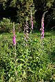 Foxgloves on the verge of Furzley Lane, Furzley Common - geograph.org.uk - 455778.jpg
