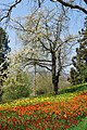 Frühlingsallee Tulpenblüte 2010 (3).jpg