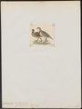 Francolinus pileatus - 1820-1863 - Print - Iconographia Zoologica - Special Collections University of Amsterdam - UBA01 IZ17100047.tif