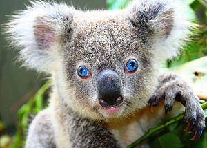 Close-up of a blue-eyed koala