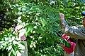 Fraxinus americana (15715588063).jpg