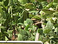 French bean plant from lalbagh 2335.JPG