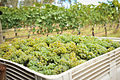 Freshly hand harvested Gruner Veltliner grapes at Hahndorf Hill in the Adelaide Hills.jpg