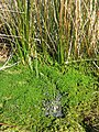 Frogs Spawn and Reeds - geograph.org.uk - 399960.jpg