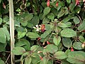 Fuchsia from Lalbagh flower show Aug 2013 8056.JPG