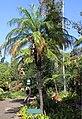 Funchal Jardim botanico Phoenix roebelenii 2016 1.jpg