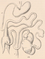 GI tract Hyrax Flower et al 1891.png