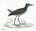 Gallinula olivacea - 1820-1863 - Print - Iconographia Zoologica - Special Collections University of Amsterdam - UBA01 IZ17500209 crop.png