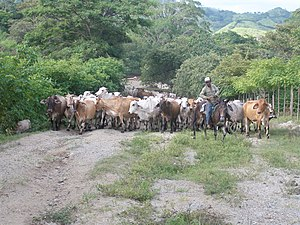 Agriculture in Panama - Cattle being herded in Panama.
