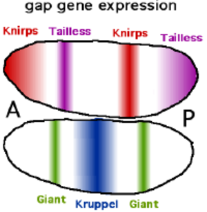 Gap gene - Expression of some of the gap genes in bands in the Drosophila early embryo