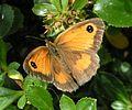 Gatekeeper butterfly 800.jpg