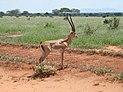 Gazelle (Nanger granti), Tsavo East National Park, Kenýa.jpg