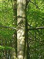Gdansk drzewo 1.jpg