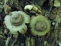Geastrum saccatum 13071208.jpg