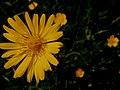 Gelb wie die Sonne die Blumen im Gras.JPG
