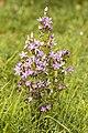 Gentianella germanica camp-st-fuscien-dury 80 15082007 4.jpg