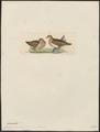 Geophaps smithii - 1820-1860 - Print - Iconographia Zoologica - Special Collections University of Amsterdam - UBA01 IZ15600285.tif