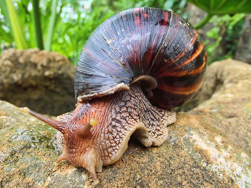 File:Giant African Land Snail.jpg