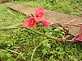Gladiolus grandiflora-2-carmel-yercaud-salem-India.jpg