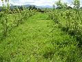 Gliricidia and Brachiaria pasture, Innisfail..JPG