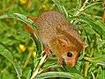 Gliridae - Muscardinus avellanarius (Dormouse)-001.JPG