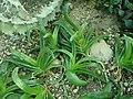Glottiphyllum longum 2019-12-13 6079.jpg