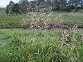 Glyceria maxima54 flowerhead4 (8684106229).jpg