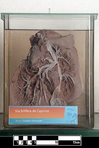 Ruminantia - Image: Goat liver (bile ducts)