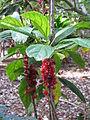 Goethea strictiflora 3.jpg