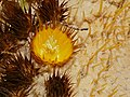 Golden Barrel Cactus (Echinocactus grusonii) flower (34913108104).jpg